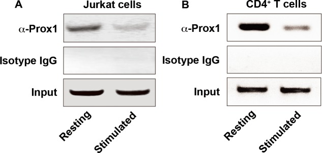 <t>Prox1</t> is associated with IL-2 promoter Chromatin was extracted from ( A ) Jurkat cells and ( B ) naïve CD4 + T cells unstimulated or stimulated with anti-CD3/CD28 Dynabeads for 24 h, and precipitated with anti-Prox1 antibody or isotype IgG. The DNA sequence containing minimal IL-2 promoter (–256 to -46, product size: 211 bp) was analyzed by <t>PCR.</t> Data represent one of three separate experiments.