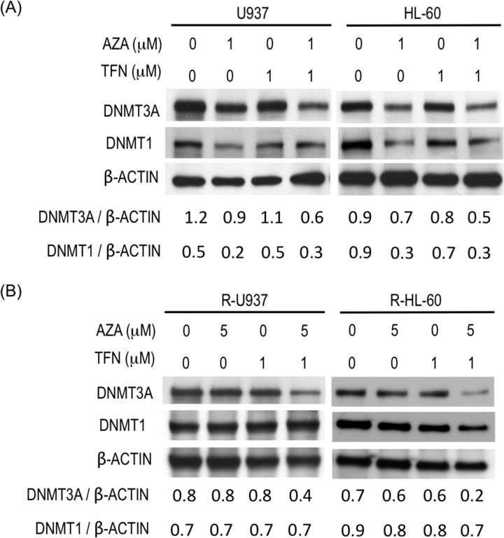 (A) Amounts of DNMT3A and DNMT1 in U937 cells and HL-60 cells after treatment with the indicated agent for 48 h. Values indicate the relative amounts of DNMT3A and DNMT1 normalized with <t>β-ACTIN.</t> (B) Amounts of DNMT3A and DNMT1 in R-U937 and R-HL-60 cells after treatment with the indicated agent for 48 h. Values indicate the relative amounts of DNMT3A and DNMT1 normalized with β-ACTIN.
