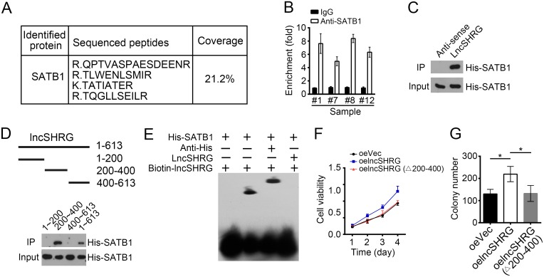 LncSHRG associates with SATB1 (A) Biotin-RNA pulldowns were performed using biotin-labeled lncSHRG or anti-sense control. Eluted fractions were resolved by SDS-PAGE, followed by silver staining and mass spectrometry. SATB1 was identified as a potential interactive protein of lncSHRG. (B) HCC sample lysates were incubated with anti-SATB1 at 4°C for 4 h, followed by an RNA immunoprecipitation assay. (C) Interaction of His-SATB1 with biotin-lncSHRG was checked by RNA pulldown assays. (D) lncSHRG (nt200∼400) was essential for the interaction with SATB1 as shown by domain mapping and RNA pulldown assays. (E) Biotin-labeled lncSHRG (nt200∼400) probe was incubated with His-SATB1 protein, followed by EMSA assays. (F) LncSHRG (nt200∼400) contributed to cell proliferation by MTT assays. Full-length lncSHRG but not truncation version (deletion of nt200∼400) promotes cell proliferation in HCC samples. (G) LncSHRG (nt200∼400) promoted colony formation. Full-length lncSHRG but not truncation version (deletion of nt200∼400) promotes colony formation of HCC sample cells. *p