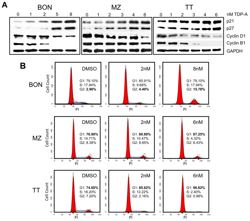 Cell cycle arrest in NE cancer cells caused by TDP-A treatment (A) Detection of p21, p27, cyclin B1, and cyclin D1 protein expression by Western blot in NE cancer cells treated with multiple concentrations of TDP-A (0-8nM) or vehicle control (DMSO). Equal loading was confirmed with GAPDH. (B) NE cancer cells were treated with two doses of TDP-A and vehicle control (DMSO) for 48 hrs, and stained with propidium iodide (3 ug/mL). Cell cycle analysis with fluorescence-activated cell sorting showed that the mechanism of growth inhibition is by cell cycle arrest at G2/M phase in BON cells and at G1 phase in MZ and TT cells.