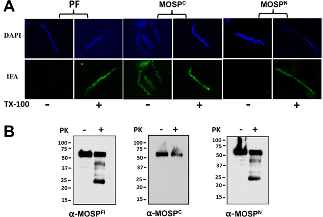 Immunolabeling and surface proteolysis of T. denticola confirm bipartite architecture of native MOSP and the presence of OM and periplasmic conformers. ( A ) Immunolabeling of T. denticola encapsulated in gel microdroplets in the absence (−) or presence (+) of 0.05% TX-100. Organisms were probed with antibodies directed against MOSP C , MOSP N , and periplasmic flagella (PF). ( B ) Surface proteolysis of T. denticola exposed to proteinase K (PK) for 1 hour. Immunoblot analysis of MOSP before (−) and after (+) treatment with PK using antisera directed against MOSP Fl , MOSP C and MOSP N . Molecular mass standards (kDa) are indicated on the left of each gel.