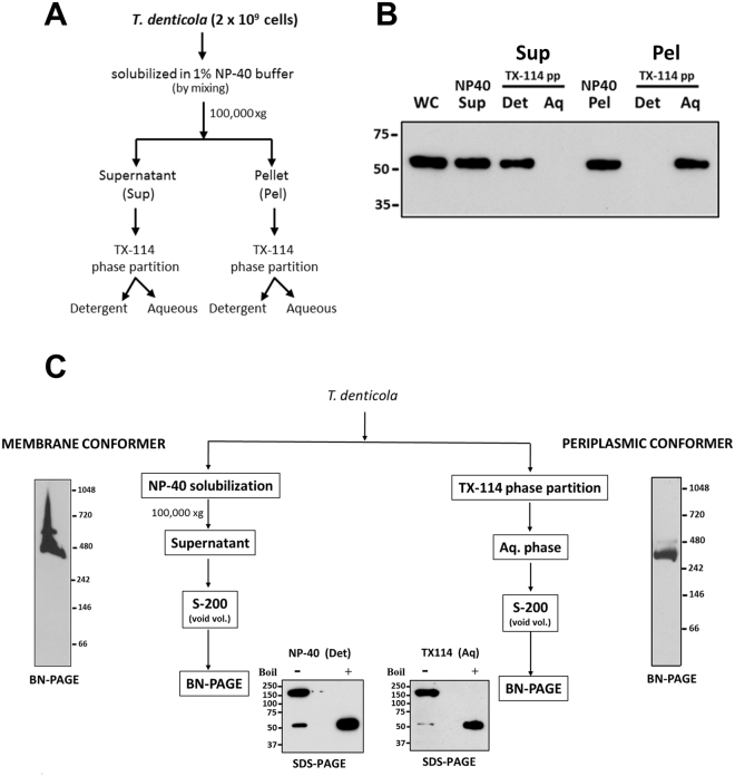 OM- and periplasmic-MOSP form SDS-stable trimers and distinct multimeric complexes. ( A) Protocol outlining the use of NP-40 to separate OM and periplasmic conformers. (B) Immunoblot of the NP-40 soluble (supernatant; NP-40 Sup) and insoluble (pellet; NP40 Pel) fractions obtained by ultracentrifugation which were then separately subjected to TX-114 phase partitioning (TX-114 pp). (C) Immunoblot of BN-PAGE gels of NP-40 supernatant and TX-114 aqueous phase using anti-MOSP Fl antiserum. Also shown are SDS-PAGE gels of the separated conformers without (−) and with (+) boiling followed by immunoblot analysis with anti-MOSP Fl . Molecular mass standards (kDa) are indicated on the left (SDS-PAGE) or right (BN-PAGE) of each gel.