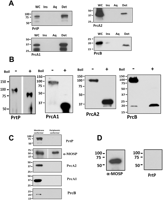 The dentilisin complex associates only with OM-MOSP. ( A) SDS-PAGE and immunoblot analysis of TX-114 phase partitioned T . denticola cells using antisera directed against PrtP, PrcA1, PrcA2, and PrcB. Lanes: whole cells (WC), TX-114 insoluble material (Ins), aqueous (Aq) and detergent (Det) phase. (B) SDS-PAGE gels of the NP-40 supernatant without (−) or with (+) boiling followed by immunoblot analysis using the same antisera as in Panel A. (C) Eluates from Co-IP of OM and periplasmic conformers were immunoblotted with antisera against the four dentilisin components. (D) SDS-PAGE and immunoblot analysis of eluate when 2% DDM was added to the NP-40 supernatant prior to Co-IP. Molecular mass standards (kDa) are indicated on the left of each gel.