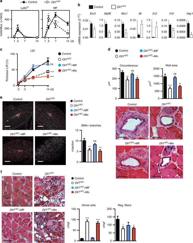 Endothelial Dll1 regulates macrophage maturation and arteriogenesis. a Analysis of cell populations by flow cytometry in ischemic muscle of induced endothelial Dll1 mutant mice ( Dll1 iΔEC ) and control mice. n = 8 mice/group, error bars represent s.e.m. * p