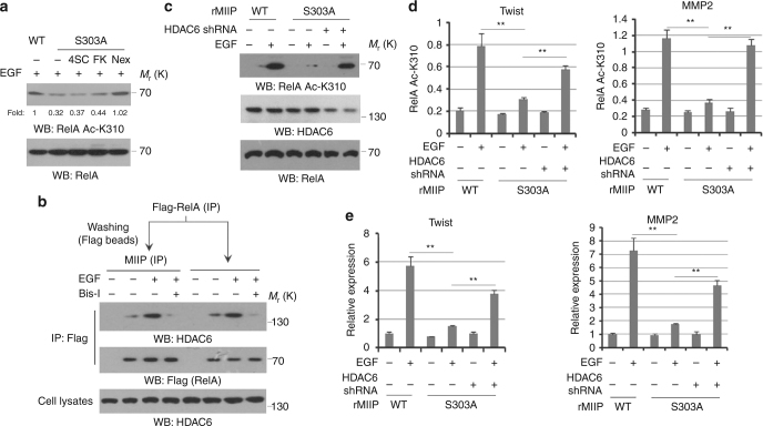 MIIP prevent HDAC6-mediated RelA deacetylation. a HCT116 cells were pretreated with or without 4SC-202 (0.6 μM), FK228(20 nM) and Nexturastat A (5 nM) for 1 h prior to EGF (100 ng/ml) treatment for 30 min. Immunoblotting analyses were performed. b HCT116 cells were pretreated with or without Bis-l for 1 h prior to EGF (100 ng/ml) treatment for 30 min. Cellular extracts subjected to immunoprecipitation with an anti-Flag, followed by Flag-beads washing and a second immunoprecipitation with an anti-MIIP (lanes 1–4 from left). Cellular extracts subjected to immunoprecipitation with an anti-Flag (lanes 5–8 from left). c – e HCT116 cells expressed with WT MIIP or MIIP S303A were overexpressed with or without HDAC6 shRNA; cells were treated with or without EGF (100 ng/ml) for 10 h. Immunoblotting analyses were performed ( c ). ChIP analyses with an anti-RelA Ac-K310 antibody were performed. The primers covering RelA binding site of Twist or MMP2 gene promoter region were used for the q-PCR. The Y axis shows the value normalized to the input. d Relative mRNA levels were analyzed by q-PCR ( e ). In a – c , immunoblotting analyses were performed using the indicated antibodies and data represent one out of three experiments. In d , e , the values are presented as mean ± s.e.m. ( n = 3 independent experiments), ** represents P