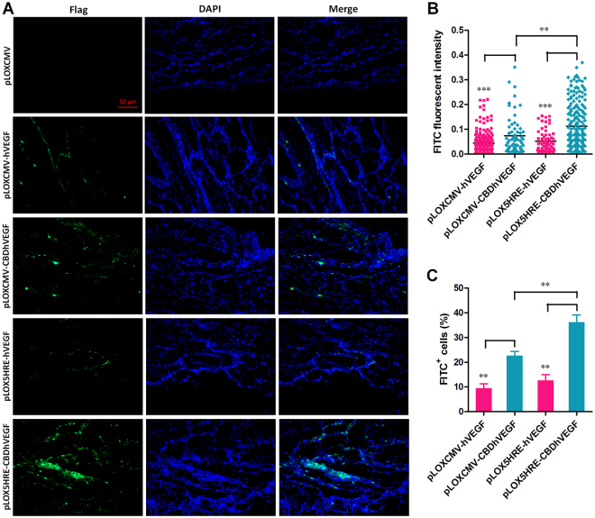 Expression of Flag tag in hypoxic myocardium. The expression of Flag tag, which was fused with C-terminus of <t>VEGF,</t> was detected in ischemic myocardium by immunofluorescence staining. ( A ) Representative images for each condition is shown (scale bar = 50 μm). ( B ) The quantification of FITC fluorescence intensity was performed as described in Methods section. Results are presented as mean ± SEM (n = 8), ** p