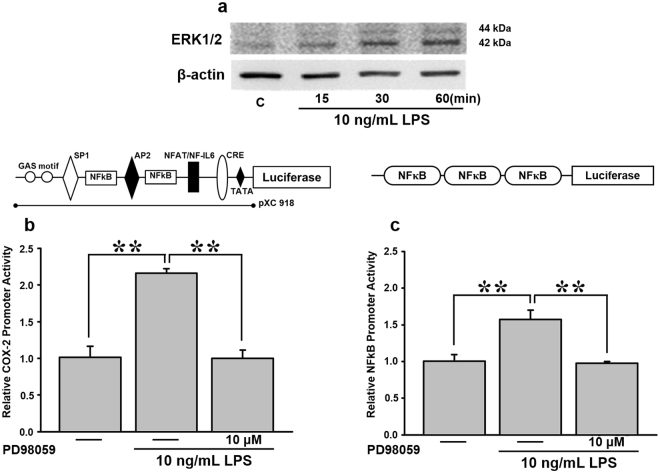 Effects of PD98059, a pERK1/2 inhibitor, on LPS-mediated COX-2 expression in AGS cells. ( a ) Cells were treated with and without 10 ng/mL LPS for 15, 30, and 60 min. Cell lysates were harvested for a pERK1/2 expression analysis. To further determine the effect of PD98059 on LPS-medicated COX-2 , cells were transiently transfected with 0.5 μg of ( b ) a COX-2 promoter reporter construct (pXC918) and ( c ) 3X NF-κB reporter construct for 24 h. Cells were incubated with 10 μM PD98059 for 30 min, and stimulated with 10 ng/mL LPS for 2 h. Promoter activity was measured with a luciferase assay. Statistical significance (** p