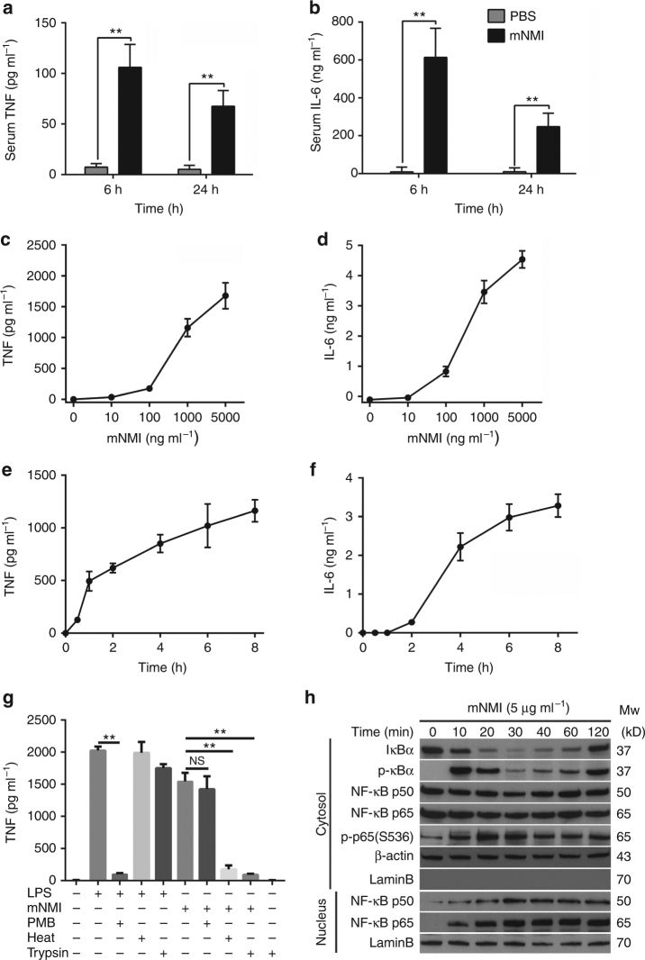 Recombinant NMI protein induces TNF release and NF-κB activation. a , b Tumor necrosis factor (TNF) and interleukin 6 (IL-6) in the sera of mice ( n = 5) were determined by ELISA, 6 or 24 h after intravenous injection of recombinant mNMI (10 mg kg −1 ) or PBS. c , d TNF and IL-6 released by mouse RAW264.7 cells (ATCC TIB-71™), 4 h post-stimulation with increasing concentrations of mNMI. e , f TNF and IL-6 released by RAW264.7 cells stimulated with 1 μg ml −1 mNMI. g TNF released by RAW264.7 cells stimulated with mNMI (5 μg ml −1 ) or LPS (100 ng ml −1 ) for 8 h, with (+) or without (−) pre-treatment of polymyxin B (PMB) (25 μg ml −1 ), heat (80 °C for 30 min) and trypsin (5 μg ml −1 , 37 °C overnight). h IκB, p-IκB, NF-κB (p50 and p65), phosphorated p65 at Ser536 (p-p65 (S536)) in the cytoplasm and NF-κB (p50 and p65) protein in nucleus extracts of RAW264.7 cells were assessed by immunoblotting, after the cells were treated with 5 μg ml −1 recombinant mNMI protein. β-actin in the cytoplasm and LaminB in the nucleus were used as control. LaminB in the cytoplasm was detected to ensure that there was no contamination during the fractionation. Error bars in c – g indicate ± s.e.m. from three biological replicates. Significance was tested by unpaired Student's t -test test. * P