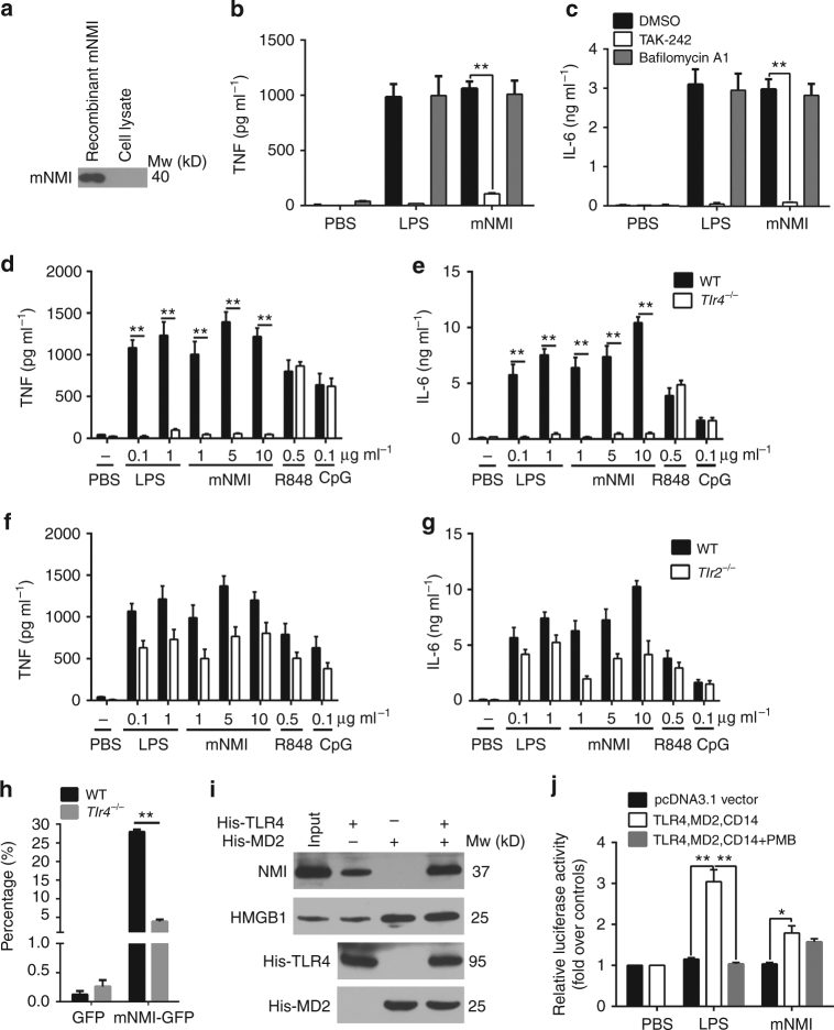 NMI stimulates macrophages through the TLR4 pathway. a Western blot analysis of mNMI in the BMDM cell lysate after 1 h incubation with recombinant mNMI. The BMDM cells were isolated from Nmi −/− mice and pretreated with macrophage colony-stimulating factor (MCSF). b , c TNF and IL-6 released by BMDMs from WT (C57BL/6) mice, pretreated with bafilomycin A1 (10 nM), TAK-242 (100 nM) or dimethyl sulphoxide (DMSO) for 2 h and stimulated with mNMI (5 μg ml −1 ) or LPS (100 ng ml −1 ) for 8 h. d – g TNF and IL-6 levels in the supernatants of BMDMs from WT, Tlr4 −/− and Tlr2 −/− mice were analyzed using ELISA 4 h post activation by different stimulus. h After incubation with mNMI-GFP for 1 h, the percentage of GFP labeled CD11b + F4/80 + cells was determined by Flow cytometric analysis. The cells were isolated from spleen in WT or Tlr4 −/− mice. i NMI in the human THP1 cell (ATCC TIB-202™) lysates interacts with hTLR4. Ni-NTA beads coupled with 2 μg His-hTLR4 and/or His-hMD2 fusion proteins were used as bait. j The luciferase activity of HEK293T cells (ATCC CRL-11268™) are shown after stimulated with 5 μg ml −1 mNMI for 4 h (in the presence or absence of 25 μg ml −1 polymyxin B (PMB)). The cells were pre-transfected with mTLR4-MD2-CD14 and NF-κB promoter with luciferase activity. 100 ng ml −1 LPS was administrated as positive control. In b – e and g , error bars indicate ± s.e.m. from 3 biological replicates. Significance was tested by one-way ANOVA followed by Student–Newman–Keuls test. ** P