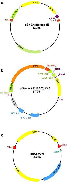 "Construction and schematic of plasmid. a pEn-Chimera-ccdB. A cassette consisting of chloramphenicol resistance gene ( CmR ) and the ccdB gene was PCR-amplified and inserted between the AtU6-26(P) promoter and the sgRNA of pEn-Chimera [ 22 ] using the In-Fusion ® HD cloning strategy as described in "" Methods "" section. Plasmid pEn-Chimera-ccdB is used as template in PCR for fusing the 20-nucleotide protospacer sequence to the AtU6-26 promoter and sgRNA. Using the ccdB gene virtually eliminated any background colonies, which could arise due to incomplete digestion of pEn-Chimera using the restriction enzymes-based cloning method. b pDe-Cas9-D10A-2 gRNA: Schematic illustration of pDe-Cas9-D10A after two gRNA constructs, gRNA1 and gRNA2, are directly cloned in this vector using the In-Fusion ® HD cloning system. c pUC57GW: this is an in-house constructed Gateway ® -compatible Entry vector, which, in contrast to commonly used Gateway ® Entry/DONR vectors, contains the ccdB and Chloranphenicol ( CmR ) resistance genes. This unique design allows efficient cloning of gRNAs constructs in this vector using the In-Fusion ® HD cloning system without any background colonies. Please see "" Methods "" and "" Results "" section for details"