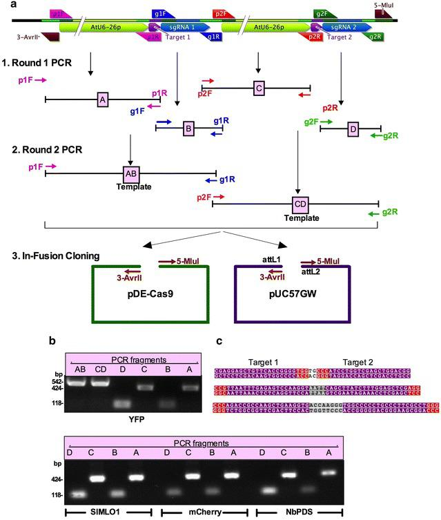 Overview of In-Fusion ® -based cloning of two gRNA targets for paired nickases (Cas9-D10A). a Illustration of cloning strategy. Schematics of final gRNA cassette is shown in the top panel. Using a set of four universal primers (p1F, p2F, g1R and g2R) and four target-specific primers (g1F and p1R for protospacer target 1, and g2F and p2R for protospacer target 2), four fragments, A, B, C and D are PCR amplified using pEn-Chimera-ccdB plasmid in Round 1 PCR. In Round 2 PCR, using primers p1F and g1R, fragments A and B are fused resulting in fragment AB, and using primers p2F and g2R, fragments C and D are fused resulting in fragment CD. In Step 3, fragments AB and CD are cloned into pDe-Cas9-D10A or pUC57GW using the In-Fusion ® HD cloning system. b A representative gel picture showing PCR fragments of YFP upper panel, SlMLO1, NbPDS and mCherry lower panel. Expected sizes of each fragment are shown on the left. c Protospacer sequences of the targeted genes ( YFP upper panel, NbPDS middle panel, and mCherry lower panel) are highlighted in purple background and the PAM sequences NGG in red background