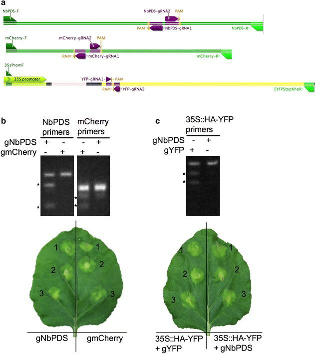 Mutation detection using Agrobacterium -mediated transient expression in N. benthamiana. a Schematic illustrations showing the locations of gRNAs, PAM positions, and primers in the genes , NbPDS , PIP2 - 1 - mCherry and YFP targeted for genome editing. b Resolvase assay for detecting mutation in NbPDS and mCherry targeted by the gRNA constructs pDe-Cas9-D10A-gNbPDS and pDe-Cas9-D10A-gmCherry. High fidelity PCR was performed with primers NbPDS-F and NbPDS-R for the NbPDS target, and mCherry-F and mCherry-R for the mCherry target (panel A and Table 1 ) using template DNA isolated from leaf spots on N. benthamiana infiltrated with Agrobacterium tumefaciens carrying the indicated CRISPR–Cas9 constructs; N. benthamiana was stably transformed with the PIP2 - 1 - mCherry gene, which served as a transgene target for the gmCherry gRNA. Amplicons were subjected to Resolvase assays (Guide-it™ Mutation Detection Kit, Cat#631443, Clontech) and reactions were run on a 1.5% agarose gels. Digested fragments, which result from gRNA-induced mutations, are indicated by *, and their sizes are ~ 570 and ~ 150 bp for NbPDS, and ~ 277 and ~ 150 bp for mCherry. Undigested fragments are 727 bp for NbPDS and 427 bp for mCherry. Lower panel shows a representative N. benthamiana leaf infiltrated in three independent sites with the indicated CRISPR–Cas9 constructs. c Surveyor (CEL II)—nuclease assay for detecting mutation in a transiently transformed YFP gene carried on pGWB415-35S::HA-YFP plasmid. PCR was performed with forward primer (35SpromF) and reverse primer (EYFPStopXhoR) (panel A and Table 1 ) using template DNA from Wild Type N. benthamiana co-transformed with pGWB415-35S::HA-YFP along with either pDe-Cas9-D10A-gYFP or pDe-Cas9-D10A-gNbPDS (negative control). Surveyor (CEL II)—nuclease assay was performed with amplicons and reactions were run on 1.5% agarose gels (mismatch-specific Surveyor nuclease, Surveyor ® Mutation Detection Kit; Cat#706025, IDTdna.com). gRNA-induced mutations ar