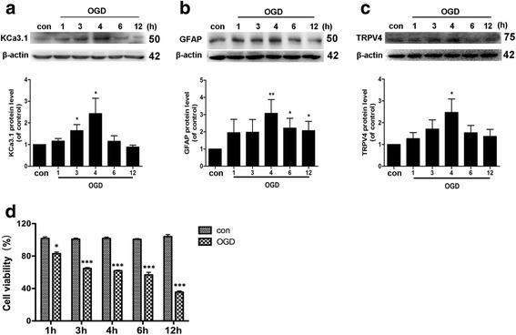 Upregulation of KCa3.1, GFAP, and TRPV4 channels following OGD in cultured astrocytes. Western blot analysis of ( a ) KCa3.1, ( b ) GFAP, and ( c ) TRPV4 expression after OGD-treatment for 0, 1, 3, 4, 6, 12 h. Data represent the means ± SEM of KCa3.1, GFAP, and TRPV4 density normalized to β-actin values for n = 3 cultures. * p