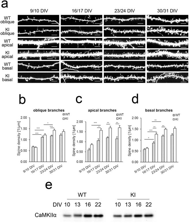Spine densities of wild-type and CaMKIIα KI hippocampal neurons maintained in slice cultures. ( a ) Representative images of oblique, apical, and basal dendrites at different developmental stages. Scale bars, 5 µm. ( b – d ) Quantitative analysis of spine density in hippocampal pyramidal neurons maintained in slice cultures of wild-type and CaMKIIα KI mice at 9/10 DIV, 16/17 DIV, 23/24 DIV and 30/31 DIV. Spine density was measured from images of oblique ( b ), apical ( c ), and basal ( d ) branches of dendrites, collected from 7–22 experiments. Data are presented as the mean ± SEM, n = 7–22 cells, * p