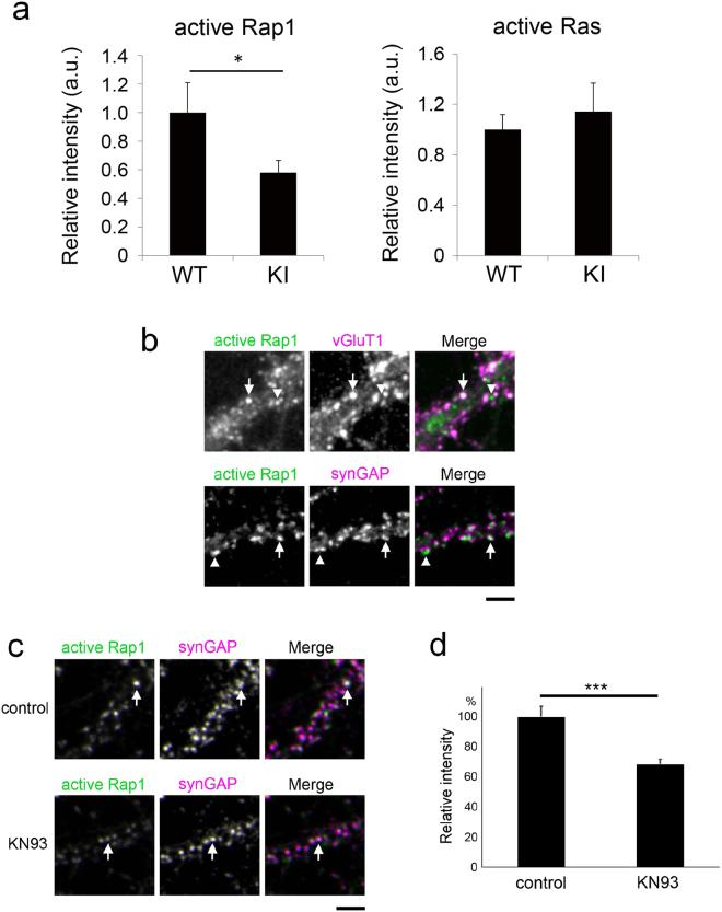 CaMKII-dependent regulation of Rap1 activity. ( a ) Quantification of active Rap1 and active Ras immunoreactivity in the dendrites of CaMKIIα KI or wild-type neurons. Data are presented as the mean ± SEM, (neurons at 21–22 DIV, Rap1; n = 42 and 27 cells from 4 independent cultures of wild-type and CaMKIIα KI hippocampi, Ras; n = 32 and 33 cells from 5 independent cultures of wild-type and CaMKIIα KI hippocampi), *p