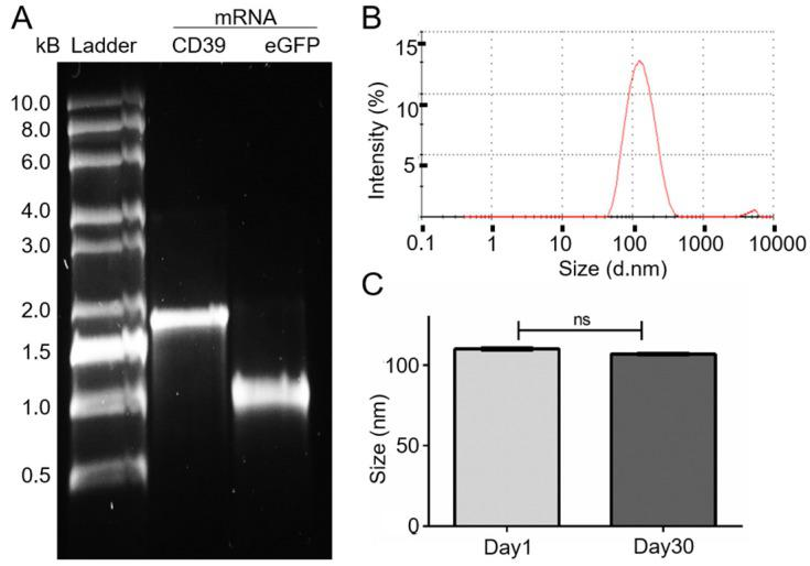 mRNA generation and size measurement of the DC-Cholesterol/DOPE nanoliposomes. (A) Electrophoresis with 1% agarose-TBE gel: CD39 mRNA (1533 bp). eGFP mRNA (993 bp) after purification and 0.5-10 kB RNA ladder. (B) Size distribution curve of the DC-Cholesterol/DOPE NLps 1 day after generation measured with a Zetazizer spectrometer exhibit an average of about 110 nm. (C) Comparison of size distribution of liposomes 1 day and 30 days after generation showing no difference. The two groups were compared using Student t-tests (mean ± SD, n=5).