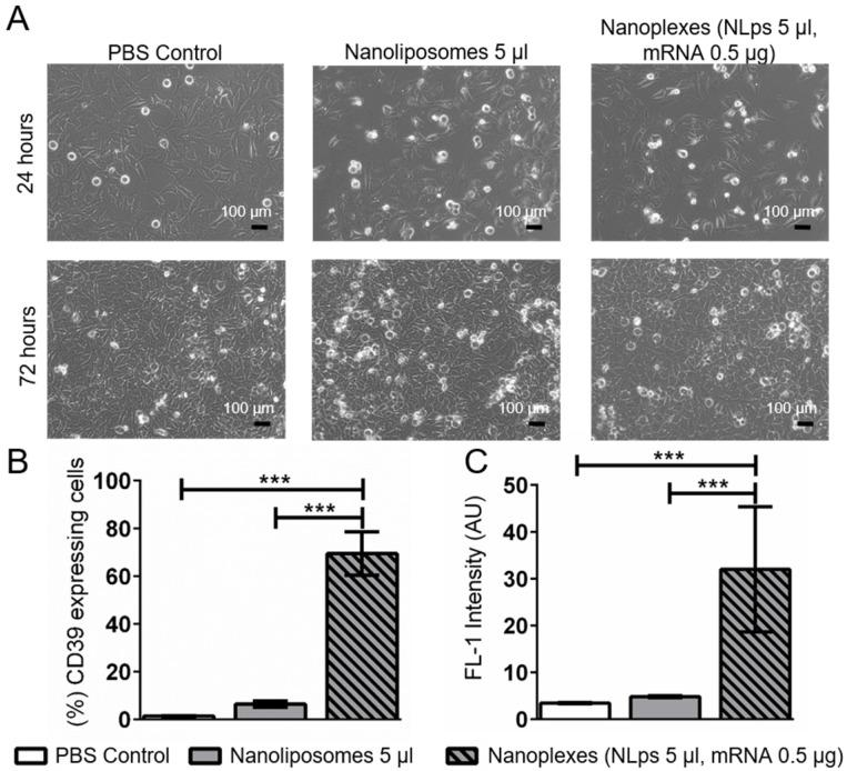 CD39 mRNA nanoplexes demonstrating no influence on cell morphology, growth, or transfection efficiency in HEK293 cells 72 h after transfection in flow cytometry. (A) Representative microscope pictures show no influence on morphology or growth of 5 μl of CD39 mRNA nanoplexes after transfection on HEK293 cells after 24 h and 72 h. The transfection efficiency (%) (B) and mean fluorescence intensity (AU) (C) were evaluated additionally in flow cytometry 72 h after transfection using an anti-CD39-FITC antibody. The flow cytometry assay was analyzed using repeated ANOVA measures with Bonferroni post-tests (mean ± SD, ***p > 0.001).