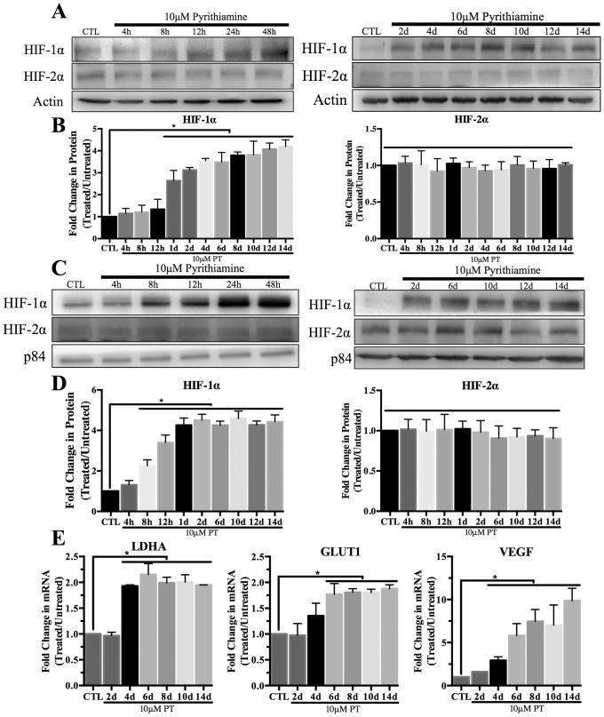HIF-1α activation in mouse primary astrocytes. Cells were treated with 10μM pyrithiamine (PT) up to 14d to induce thiamine deficiency relative to 3μM thiamine control (CTL). Representative Western blots are shown for expression of HIF-1α in WCL (A) and nuclear lysates (C). Actin was used as a loading control for WCL while p84 was used for nuclear samples. Densitometry of mean protein expression +/- SD includes n = 3 independent experiments for (B) WCL and (D) nuclear lysates. E) Real time-PCR analysis of mRNA expression +/- SD of the established HIF-1α target genes LDHA, GLUT1 and VEGF. Data are normalized to Actin as a loading control and the control sample using the 2- ΔΔCt method. (★) Represents a statistically significant difference of p