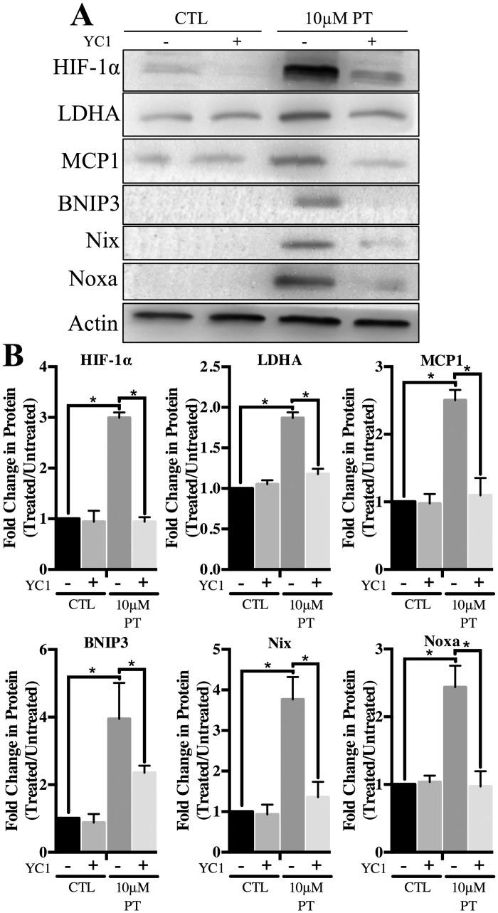 Effect of HIF-1α inhibition on expression of pro-apoptotic proteins. To achieve pharmacological inhibition of HIF-1α, 10μM YC1 was supplemented into PT containing media after a loading dose of 20μM for 24h. YC1 +/- pyrithiamine treatments lasted a total of 4d. A) WCL was assessed for expression of HIF-1α, LDHA, MCP1, BNIP3, Nix and Noxa. B) Densitometry of mean protein expression +/- SD is included with Actin as a loading control. (★) Represents a statistically significant difference of p