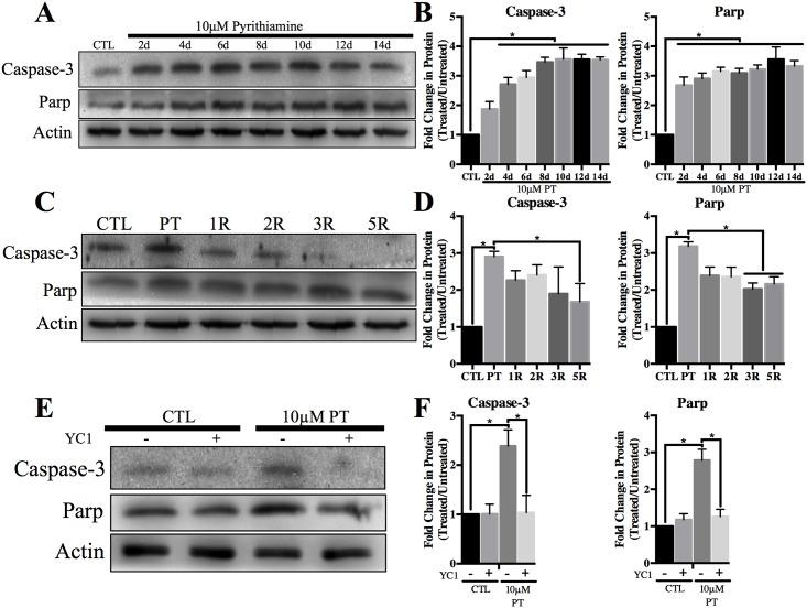 TD associated pro-apoptotic protein expression is reduced following inhibition of HIF-1α. Representative Western blots of cleaved Caspase-3 and cleaved Parp in WCL after A) treatment with 10μM pyrithiamine (PT) up to 14d, C) treatment with 10μM pyrithiamine for 4d with YC1 or E) treatment with 10μM pyrithiamine for 4d followed by 3μM thiamine repletion up to 5d (5R). Densitometry of mean protein expression +/- SD of each treatment set is shown with Actin as a loading control (B, D, F). (★) Represents a statistically significant difference of p