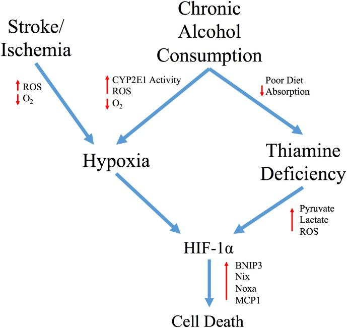 Schematic representation of the hypothesized role of HIF-1α in alcohol-induced neurological damage. The poor diet of chronic alcohol consumers and subsequent loss of intestinal thiamine transport contributes to TD in these patients. We have demonstrated that TD induces HIF-1α signaling and pro-apoptotic/inflammatory HIF-1α target genes such as MCP1, BNIP3, Nix and Noxa in astrocytes. Independent of TD, ethanol metab olism by CYP2E1 leads to an increase in oxygen consumption resulting in the development of a hypoxic microenvironment and an increase in ROS. In astrocytes, this may also lead to stabilization of HIF-1α and subsequent cellular death. Overall, this would suggest that apoptosis in either uncomplicated alcoholism or in conjunction with TD is mediated by a HIF-1α response to induce pro-apoptotic/inflammatory signaling, as observed in ischemic disease.