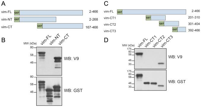 Analysis of the reactivity of the mouse anti-human vimentin monoclonal antibody V9 with vimentin truncation mutants. (A) Schematic representation of full-length and truncated mutants of human vimentin. Vim-FL, full-length (2–466); vim-NT, N-terminal (2–268); vim-CT, C-terminal (167–466) vimentin. All constructs were GST-tagged at the N-terminus. (B) Western blot analysis (WB) using anti-vimentin (V9) or anti-GST antibodies. The proteins were expressed in E. coli using the pGEX-4T2 vector. (C) Schematic representation of full-length (vim-FL) and truncated mutants, vim-CT1 (201–310), vim-CT2 (301–404) and vim-CT3 (392–466), of human vimentin. (D) Western blot analysis of bacterially expressed GST-tagged full-length or truncated mutants of vimentin with the indicated antibodies.