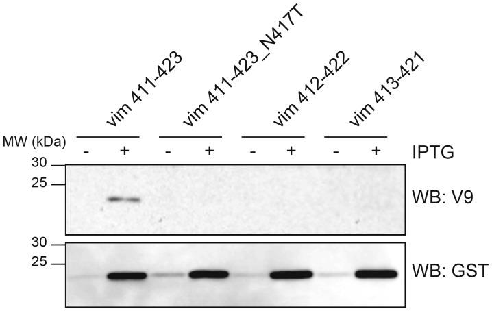 The monoclonal antibody V9 epitope in human vimentin corresponds to amino acid residues 411 to 423. Western blot analysis of GST-tagged bacterially expressed human vimentin truncated fragments and an N417T substitution truncated fragment (411–423, 411–423_N417T, 412–422 and 413–421) with the indicated antibodies. Proteins were extracted from E. coli transformed with the <t>pGEX-4T2</t> constructs after one-hour induction with (+) or without (−) IPTG. Equal amounts of total protein (10 µg) were loaded in each lane.