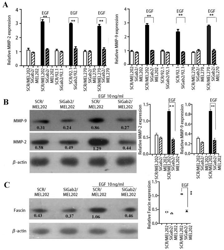 Knockdown of Gab2 inhibits the expression of MMP-2, MMP-9, and fascin in UM cells. (A) In the presence of EGF (10 ng/ml), the SCR/MEL202 and siGab/MEL202 cells were cultured for 48 h with serum-free medium on a six-well plate. After culture, the culture media were concentrated to assess MMP-2 and MMP-9 secretion using ELISA. (B) SCR/MEL202 and siGab2/MEL202 cells were treated with EGF (10 ng/ml) for 5 min. After treatment of cells, proteins were extracted and western blotting using antibody to MMP2 and MMP9 was performed. β-actin was used as a loading control. (C) SCR/MEL202 and siGab2/MEL202 cells were treated with EGF (10 ng/ml) for 5 min. After treatment of cells, proteins were extracted and western blotting using antibody to fascin was performed. Each result is a representative from at least three independent experiments.