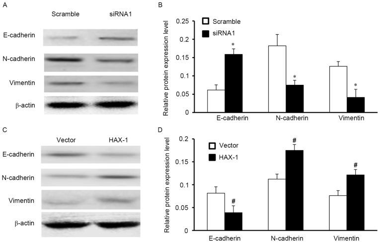 Effect of HAX-1 expression on epithelial-mesenchymal transition. (A) Western blot analysis demonstrated that HAX-1 knockdown increased E-cadherin expression, and suppressed <t>vimentin</t> and N-cadherin expression in FaDu cells. (B) Quantification of the western blotting of siRNA-transfected cells. E-cadherin protein expression was increased in the siRNA group compared with the scramble group. N-cadherin protein expression was decreased in the siRNA group compared with the scramble group. Vimentin protein expression was decreased in the siRNA group compared with the scramble group. (C) Western blot analysis demonstrated that HAX-1 overexpression decreased E-cadherin expression, and promoted vimentin and N-cadherin expression in FaDu cells transfected with HAX-1 overexpression plasmid compared with the empty vector group. (D) Quantification of the western blotting of plasmid-transfected cells. E-cadherin protein expression was decreased in the HAX-1 overexpression group compared with the vector control group. N-cadherin protein expression was increased in the HAX-1 overexpression group compared with the vector control group. Vimentin protein expression was increased in the HAX-1 overexpression group compared with the vector control group. Data are presented as the mean ± standard error of the mean. *P