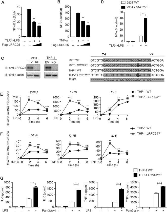 LRRC25 Inhibits NF-κB Activation and Impairs the Inflammatory Response. ( A , B , D ) HEK293T WT or 293T LRRC25 KO cells were transfected with a NF-κB-luc reporter plasmid, a TLR4 plasmid (for LPS treatment), and an empty vector or LRRC25 construct and analyzed for NF-κB luciferase activity after treatment with 10 μg/ml LPS for 12 h ( A , D ) and 20 ng/ml TNF-α for 6 h ( B ). ( C ) Protein extracts of HEK293T WT and 293T LRRC25 KO cells, THP-1 WT or THP-1 LRRC25 KO cells were subjected to immunoblot with anti-LRRC25 antibody, with the sequence alignment of 293T LRRC25 KO with 293T WT , and THP-1 LRRC25 KO cells with WT. Unprocessed original scans of blots are shown in Supplementary Fig. S3 . ( E ) THP-1 WT or THP-1 LRRC25 KO cells were treated with LPS (200 ng/ml) for 0, 2, 4, 6 h. Total RNAs from the treated cells were harvested at the indicated time points and mRNA level of TNF- α, IL-1 β, and IL-6 were determined by real-time PCR analysis. ( F ) THP-1 WT or THP-1 LRRC25 KO cells were treated with or without TNF-α (20 ng/ml) for the indicated time. The mRNA levels of TNF- α, IL-1 β and IL-6 were detected by real-time PCR analysis. ( G ) THP-1 WT or THP-1 LRRC25 KO cells were treated with LPS or Pam3csk4 for 24 h. Cells supernatant were then collected to measure the IL-6 and TNF-α production by ELISA. Data in figure ( A – G ) are means ± SEM (n = 3) of three independent experiments (*p