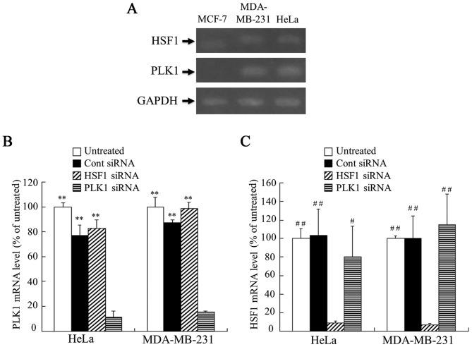 Expression of PLK1 and HSF1 mRNA in MCF-7, MDA-MB-231 and HeLa cells, and suppression of PLK1 or HSF1 mRNA expression by transfection with siRNA in MDA-MB-231 and HeLa cells. (A) The expression levels of HSF1 and PLK1 mRNA in MCF-7, MDA-MB-231 and HeLa cells were analyzed by RT-PCR. MDA-MB-231 and HeLa cells were transfected with 50 nM Cont, HSF1 or PLK1 siRNA using Lipofectamine RNAiMax reagent, and the expression levels of (B) PLK1 and (C) HSF1 mRNA in the cells were analyzed by RT-quantitative PCR. Data are presented as the mean + standard deviation (n=3). **P