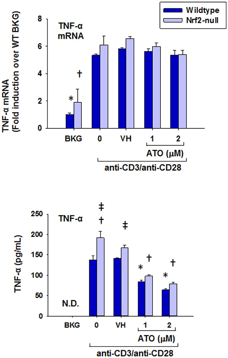 ATO markedly inhibits protein secretion, but not gene expression, of TNFα by anti-CD3/anti-CD28-activated splenocytes from wild-type and Nrf2-null mice. Wild-type and Nrf2-null splenocytes were isolated and either left untreated (BKG) or treated with the vehicle (VH, PBS), 0 (activator alone), 1, or 2 μM ATO for 30 min. The treatment groups were then either left unactivated (BKG) or activated with anti-CD3/anti-CD28 for (A) 6 h prior to quantification of TNFα mRNA by real-time PCR, or (B) 24 h prior to quantification of TNFα protein in cell supernatants by ELISA. * denotes p