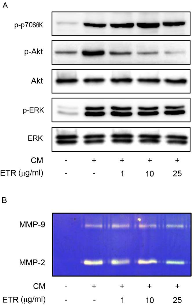 ETR inhibits mitogen-induced Akt and MMP-2 activities. Quiescent cells were treated with ETR (1, 10 and 25 µg/ml) for 15 min. (A) Cell lysates were analyzed by western blotting with anti-p-ERK, anti-ERK, anti-p-Akt, anti-Akt, and anti-p-p70S6K antibodies. (B) Gelatin zymogram analysis was performed using basic EBM 2 medium from cell culture. Zymogram gel loading was normalized to total protein concentration. Results are representative of ≥3 independent experiments. ETR, ethanolic extract of Trigonostemon reidioides ; CM, complete medium; MMP, matrix metalloproteinase; p, phosphorylated; ERK, extracellular signal-regulated kinase; p70S6K, p70 ribosomal S6 kinase.
