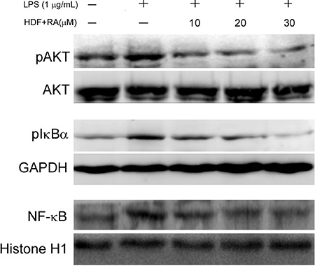 Hemodialysis fluid (HDF) supplemented with rosmarinic acid (RA) increased phosphorylation of cytosolic AKT and IκBα and diminished nuclear NF-κB in lipopolysaccharides (LPS)-stimulated human umbilical vein endothelial cells. Phosphorylation of cytosolic AKT and IκB-α, and the level of nuclear NF-κB were determined by immunoblot using specific antibodies and chemiluminescence development. Levels of GAPDH and histone H1 were used as cytosolic and nuclear control.