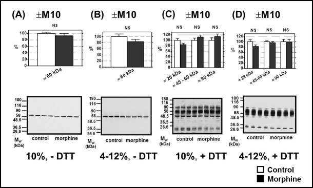Determination of μ-OR in PNS prepared from FBC of experimental groups (+M10) and (─M10). PNS fractions (20 μg protein per lane) prepared from morphine-treated (+M10) and control (— M10) rats were resolved under non-dissociated (— DTT) or dissociated (+DTT) conditions by 1D-SDS-PAGE in 10% w/v acrylamide/0.26% w/v bis-acrylamide ( A, C) or in 4–12% NuPAGE gels ( B, D ); μ-OR was recognized by C-terminus-oriented Ab C-20 (sc-7488-R). When resolved under non-dissociated conditions ( A and B ), Ab C-20 distinguished the single protein with M w ≈ 60 kDa. The average intensity of this immunoblot signal was not significantly different when compared in control (— M10) and morphine-treated (+M10) PNS samples (NS, p > 0.05). Resolution under dissociated conditions ( C and D ) revealed the presence of multiple protein bands exhibiting a wide range of M w ≈ 20–90 kDa. These immunoblot signals were also unchanged by morphine (NS, p > 0.05). The results (upper columns) represent the average signal of five immunoblots, each performed with four control + four morphine-treated samples of PNS ± SEM. 100% on y-axis represents the average intensity of a given immunoblot signal determined in PNS prepared from control, (─M10) rats. The significance of difference between the control and morphine-treated PNS samples was analyzed by Student´s t -test using GraphPad Prizm4 . In the lower panels, typical immunoblots are presented.