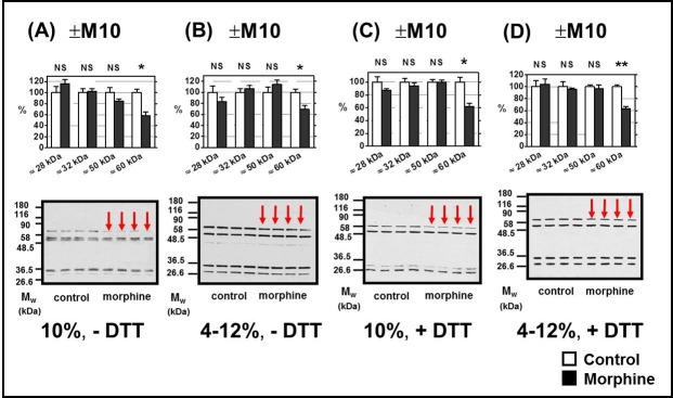Determination of δ-OR in PNS prepared from FBC of experimental groups (+M10) and (─M10). PNS fractions (20 μg protein per lane) prepared from morphine-treated (+M10) and control (— M10) rats were resolved under non-dissociated (— DTT) or dissociated (+DTT) conditions by 1D-SDS-PAGE in 10% w/v acrylamide/0.26% w/v bis-acrylamide ( A, C) or in 4–12% NuPAGE gels ( B, D ) and δ-OR was recognized by N-terminus-oriented Ab H-60 (sc-9111). Significant down-regulation (↓) of δ-OR isoform with M w ≈ 60 kDa was detected (*, p