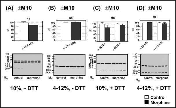 Determination of κ-OR in PNS prepared from FBC of experimental groups (+M10) and (─M10). PNS fractions (20 μg protein per lane) prepared from morphine-treated (+M10) and control (— M10) rats were resolved under non-dissociated (— DTT) or dissociated (+DTT) conditions by 1D-SDS-PAGE in 10% w/v acrylamide/0.26% w/v bis-acrylamide ( A, C) or in 4–12% NuPAGE gels ( B, D ); κ-OR was recognized by Ab H-70 (sc-9112). The results (upper columns) represent the average signal of five immunoblot experiments performed with four control + four morphine-treated samples of PNS ± SEM. 100% on y-axis represents the average intensity of a given immunoblot signal determined in PNS prepared from control, (─M10) rats. The significance of difference between the control and morphine-treated PNS samples was analyzed by Student´s t -test using GraphPad Prizm4 . In the lower panels, typical immunoblots are presented (NS, p > 0.05).