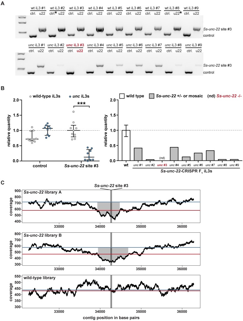 CRISPR-mediated mutagenesis of Ss-unc-22 results in putative deletion of the target locus. ( A ) Representative gel of wild-type iL3s (top) or unc F 1 iL3s from RNP injections at site #3 (bottom). Genomic DNA from each iL3 was split into two reactions: ctrl. = control reaction amplifying 416 bp of the first exon of the Ss-act-2 gene to confirm the presence of genomic DNA; u22 = reaction amplifying 660 bp around site #3. Size markers = 1.5 kb, 1 kb, and 500 bp from top to bottom. ( B ) The Ss-unc-22 region is significantly depleted in unc F 1 iL3s. Left: relative quantity analysis of PCR products. All control bands and all u22 bands were quantified relative to their respective reference bands, denoted by asterisks in A . Values > 1 indicate more PCR product than the reference while values
