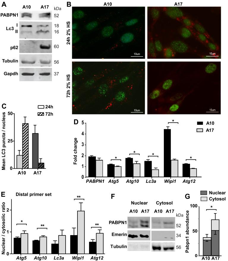 Autophagy is hyper activated in OPMD muscle cell model Experiments were performed in stable muscle cell culture over-expressing wild type PABPN1 (A10) or expPABPN1 (A17). The expression of PABPN1 transgenes was induced by incubation with 2% HS. A. Western blot shows levels of transgenes A10 and A17 PABPN1-FLAG (55 kDa) and endogenous Pabpn1 (52 kDa). Autophagy activation is represented by LC3II and P62. Tubulin and Gapdh are used as loading controls. B. Images of representative immunofluorescence with anti-FLAG (green) and anti-LC3 (red) antibodies in cell cultures that were incubated with 2% HS for 3 hours or 48 hours. Scale bar is 10 µm. C. Chart bar shows mean LC3 puncta per nucleus in A10 or A17 culture. Mean and standard deviations are from 100 nuclei collected from three independent experiments. D. Bar chart shows mRNA levels of five ATG in A10 or A17 cultures. Fold change was obtained after normalisation to Hprt housekeeping gene and to parental culture. E. Bar chart shows the nuclear to cytosolic ratio of ATG transcripts from the distal primer set. F. Image shows a representative Western blot of nuclear and cytosolic fractions, marked by Emerin or Tubulin, respectively. G. Bar chart shows PABPN1 abundance in nuclear or cytosolic fractions in A10 or A17 cell cultures. PABPN1 abundance was calculated after normalization to loading control in each fraction. Averages and standard deviations are from 4 replicates. Averages and standard deviations are from three biological independent cultures. Statistical significance is assessed by the Student's T-Test ( p