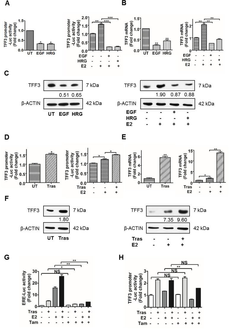 Activation of HER2 decreased TFF3 expression, while inhibition of HER2 increased TFF3 expression in BT474 cells partially in an ERα-independent manner ( A – C) Left , BT474 cells were treated with 500 ng/ml EGF or HRG for 24 and 48 hours respectively, in phenol-red free media supplemented with 10% charcoal-stripped FBS. (A–C) Right , BT474 cells were treated with 200 ng/ml EGF or HRG for 48 hours in phenol-red free media supplemented with 10% charcoal-stripped FBS in the presence of 100 nM 17β-estradiol. ( D – F ) BT474 cells were treated with 10 µg/ml trastuzumab for 48 hours in phenol-red free media supplemented with 10% charcoal-stripped FBS ± 100 nM 17β-estradiol. (A and D) TFF3 promoter luciferase activity was measured with Renilla luciferase activity as transfection control. TFF3 (B and E) mRNA and (C and F) protein levels were determined by qPCR and western blot respectively, with β-ACTIN as input control. The densitometric analyses of protein bands were performed using ImageJ. ( G and H ) BT474 cells were treated with 10 µg/ml trastuzumab ± 100 nM 17β-estradiol ± 1 µM Tamoxifen for 48 hours in phenol-red free media supplemented with 10% charcoal-stripped FBS. (G) ERE and (H) TFF3 promoter luciferase activities were measured with Renilla luciferase activity as transfection control. UT: untreated; E2: 17β-estradiol; Tras: trastuzumab; Tam: tamoxifen; ERE: estrogen response element. * p