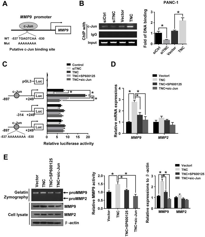 C-Jun was required for TNC-induced MMP9 expression (A) The sequence and position of the c-Jun binding site in the MMP9 promoter are shown. (B) ChIP of c-Jun on the promoter of MMP9 . PANC-1 cells were transfected with empty siCtrl, siTNC, vector or TNC plasmid. PCR amplification from the total chromatin (bottom) was used as a positive control, anti-IgG (middle) served as a negative control, and anti-c-Jun (top) showed the interaction between the c-Jun and MMP9 promoter after the indicated treatment. (C) TNC transactivates the MMP9 promoter via c-Jun. The luciferase activity of the reporters in the indicated cells was assessed by a dual-luciferase reporter assay. The relative luciferase activity is the ratio of the luciferase activity in each of the tested cells to that in the control cells. Data represent the mean ± SD. (n = 3, * P