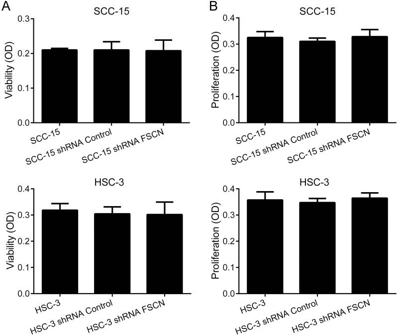Downregulation of fascin does not affect viability or proliferation of SCC-15 and HSC-3 cells Cells were subjected to MTS-cell viability (A and B) and bromodeoxyuridine (BrdU)-labeling cell proliferation (C and D) assays.