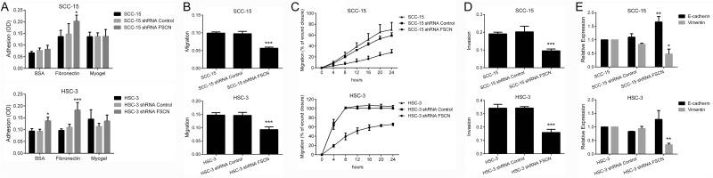 Overexpression of fascin is associated with adhesion, migration, invasion and acquisition of EMT properties (A) Downregulation of fascin significantly induced the adhesive properties of SCC-15 and HSC-3 cells to fibronectin, and of HSC-3 cells on uncoated surfaces. (B) Migration of SCC-15 and HSC-3 cells were significantly decreased by fascin-specific shRNA, as revealed by transwell migration assay. (C) Migration analysis based on scratch wound migration assay showed that fascin-silenced cells (SCC-15 shRNA FSCN and HSC-3 shRNA FSCN) closed the scratch wound significantly more slowly than parental cells (SCC-15 and HSC-3) and shRNA Control cells. (D) Invasion of SCC-15 and HSC-3 cells was significantly inhibited after fascin knockdown. (E) Downregulation of fascin induced significantly the expression of E-cadherin while reducing vimentin expression in SCC-15 cells. For HSC-3 cells, reduction of vimentin expression reached significant levels, while that the induction of E-cadherin did not. *p