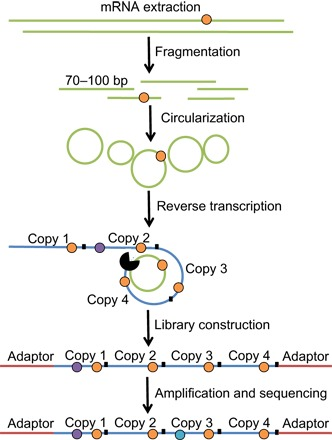 A visual representation of the circle-sequencing assay. The circle-sequencing protocol identifies transcription errors (orange circles) by fragmenting RNA (green strands) into short oligonucleotides, circularizing them, and reverse-transcribing the RNA circles in a rolling-circle reaction to generate linear cDNA molecules made up of tandem repeats of the original RNA fragment (blue strands). During this step, artificial mutations may arise in the cDNA (purple circles). The cDNA is then processed to generate a library, amplified, and sequenced, during which further artifacts may arise (teal circles). However, because these artifacts are only present in one copy of the tandem repeats, they can be distinguished from true transcription errors, which are present in all tandem repeats. bp, base pair.