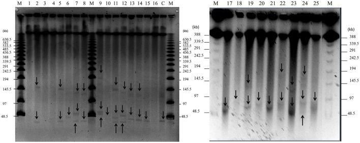 Detection of plasmids in 25 staphylococcal clinical isolates by PFGE. Large plasmids ( > 30 kb) were analyzed by PFGE after digestion with nuclease S1 at 37°C for 45 min. Lanes 1–25: clinical isolates; lane number corresponds to the number of the isolate. Lane C: positive control, plasmid pSK41 (46.4 kb) extracted from SK5428 strain. Lane M: Lambda Ladder PFGE molecular size marker. Arrows point to detected plasmids.