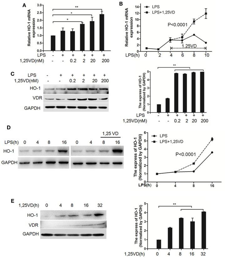 1,25-Dihydroxyvitamin D [1,25(OH) 2 D 3 ] increases LPS-induced hemeoxygenase-1 (HO-1) expression in macrophages. (A,B) LPS-induced HO-1 mRNA expressions in bone marrow-derived macrophages (BMDMs) with 1,25(OH) 2 D 3 (A) various dose treatment (2, 20, and 200 nM) or (B) time course (0, 2, 4, 6, 8, and 10 h) were detected by QPCR normalized to glyceraldehyde-3-phosphate dehydrogenase (GAPDH). Data are representative of at least three independent experiments. * p
