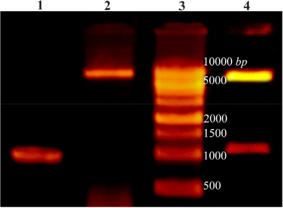 Lane 1: PCR product of Cre gene, lane 2: pET28a-cre plasmid extraction result, lane 3: DNA ladder, lane 4: double digestion of recombinant pET28a-cre by NheI and XhoI. Products were electrophoresed on 0.7% agarose gel.
