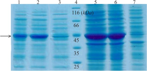 SDS-PAGE analysis of recombinant creatinase expression. Lane 1 and 2 are soluble fractions of induced BL21 (containing pET28a-cre) for 4 and 16 hr and 3 is soluble fraction of induced negative control. Lane 4 is the protein ladder. Lane 5 and 6 are crude extract of total protein of induced BL21 (containing pET28a-cre), and lane 7 is the negative control.