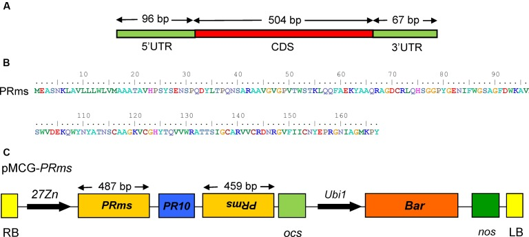 ZmPRms gene and vector construction. (A) Genomic structure of the Zea mays ( Zm ) PRms gene; (B) Amino acid sequence of the ZmPRms gene; (C) Vector diagram of the RNAi construct used for maize transformation to silence the ZmPRms gene (Abbreviations: 27 Zn = maize endosperm-specific promoter, RB = right border, LB = left border, PR10 = intron (maize), Ubi 1 = constitutive promoter, Bar = bialaphos resistance gene, ocs and nos = transcription terminators).