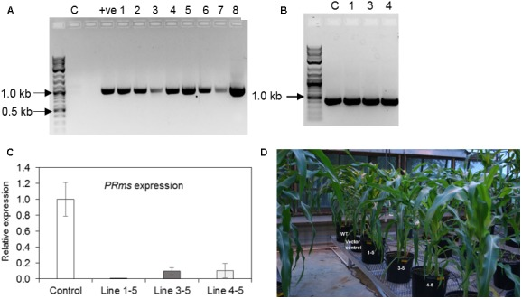 Confirmation of maize transgenic plants and plant phenotype. (A) Genomic DNA isolated from ZmPRms– RNAi lines and control plant were used to amplify a 1156 bp DNA fragment to confirm the presence of the RNAi cassette (C = empty vector transformed control plants; +ve = plasmid vector used as a PCR template; NEB 2-Log DNA ladder user as a DNA marker); (B) Genomic DNA isolated from ZmPRms– RNAi and empty vector transformed control (C) plants were used to amplify a 433 bp diagnostic DNA fragment to confirm the presence of the ' Bar ' plant selection marker gene (Line 1 = 1–5, Line 3 = 3–5, Line 4 = 4–5; NEB 2-Log DNA ladder user as a DNA marker); (C) Relative expression of the native PRms gene in the kernels of empty vector transformed control and PRms -RNAi maize lines at 7 days post inoculation (dpi) [Gene expression was normalized to the maize ribosomal structural gene GRMZM2G024838 ( Shu et al., 2015 ); data are mean ± SE of 3–4 biological replicates]; (D) Plant growth phenotype (uninfected) of ZmPRms– RNAi lines as compared to the wild type (WT) or empty vector transformed control transgenic maize plants.